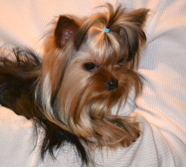 Yorkie Stud Service Stud Service For Yorkies In Tn Northshore