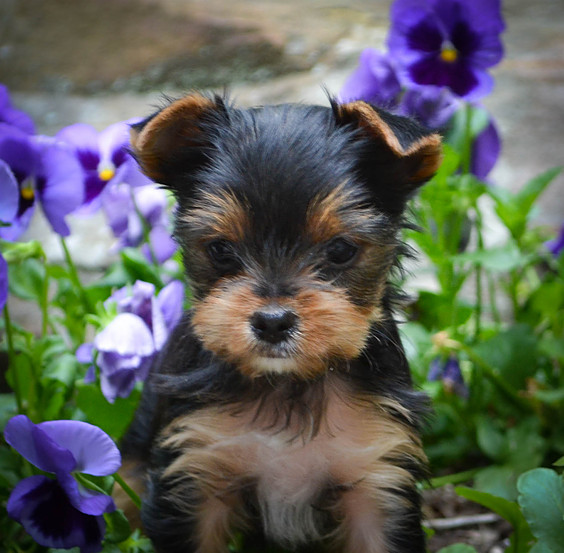 Teacup & Parti Yorkie Puppies in TN from Yorkies of Northshore
