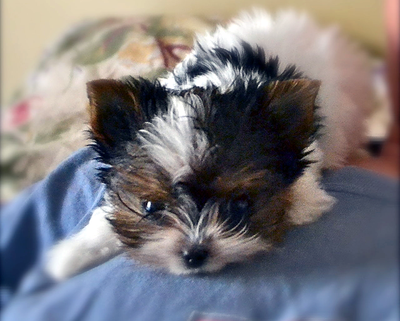 Teacup Parti Yorkie Puppies In Tn From Yorkies Of Northshore